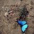 20101119140101-abell_morpho_butterfly_wings_open_36_x_24_txt