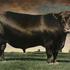 20101201104313-angus_bull