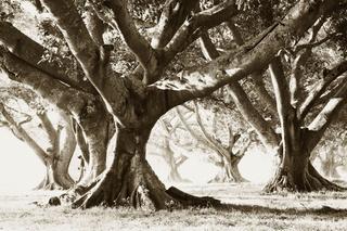 Banyan Trees, Stuart Redler