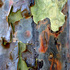 20101206190701-eucalyptus4
