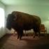 Buffaloimg_0206