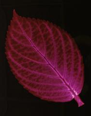 Hydrangea, Christine Caldwell