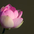 20110123141756-new_pink_lotus_