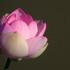 20110123141756-new_pink_lotus_
