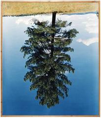 Ponderosa Pine IV, Rodney Graham
