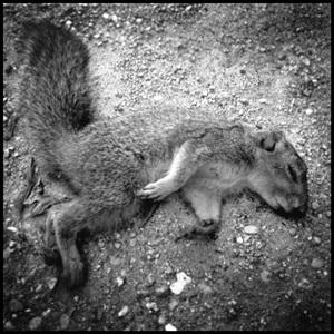 20110125173320-fresh_dead_squirrel_via_phone_copy