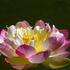 20110203102028-pink_lotus_