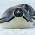 20110212124417-_fe__emperor_penguins