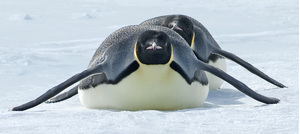 20110212124417-_fe__emperor_penguins