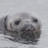 20110212124553-_fe__weddell_seal