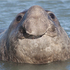 20110212124619-elephant_seal_small