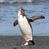 20110212124650-royal_penguin