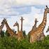 20110214142128-01_giraffe_garden