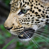 20110214142521-06_lunging_leopard