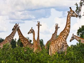 Giraffe Garden, Jeanne VanderPloeg