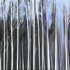 Birch_forest