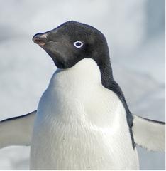Adelie Penguin, J.J.L\'Heureux