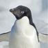 20110226162018-adelie_penguin