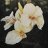 20110227121808-canna_lillies