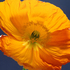 20110306144906-yellow_poppy_10_5x5