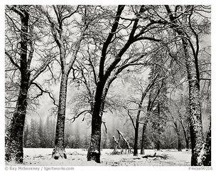 Walking Trees, El Capitan Valley, Yosemite Valley, Ray McSavaney