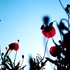 20110325092322-poppies_3
