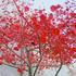 20110415122928-mady_4_red_tree_in_haifa