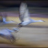 20110415140231-howley_cranesinflight04