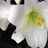 20110422031957-white-lilly-mom-_cpthick015