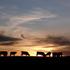 20110427224927-kpb-cows01b