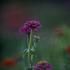 20110427225750-kpb-purpleflower01b