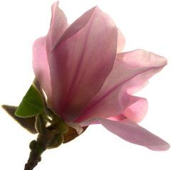 Magnoliaflower