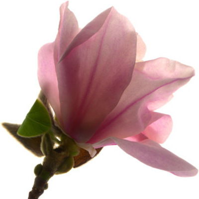 Picture Magnolia Flower on Magnoliaflower