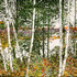 20110501164744-riverside_birches_5_24x36_