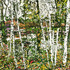 20110501164937-riverside_birches_6_24x48_