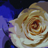20110608043310-one_rose1