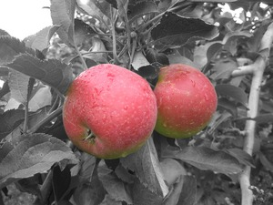 20110612104449-hudson_valley_apples