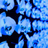20110723025834-moonshine-phalaenopsis