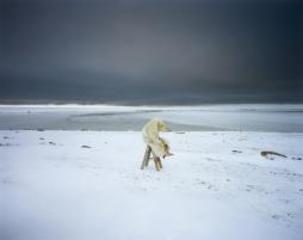 Polar Bear, Igloolik Series, Canada , Scarlett Hooft Graafland
