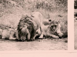 Lions,