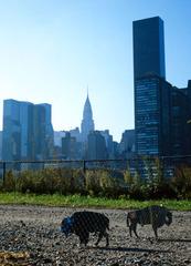 American Buffalo : Roosevelt Island : New York , MASLEN & MEHRA