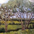 An_-_trees_over_farmland__ardoughter__2004__16_x_20__canvas___240_