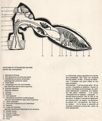 Anatomie du Stronsiode Mutare,France Cadet
