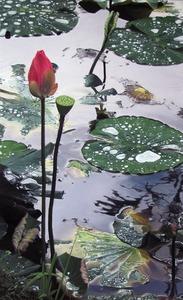 20111209202011-lotus_waterlilliessmall