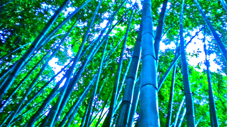 bamboo dreams, Diane Cordingley
