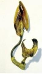 Feniculum, Helene Brandt