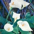20120115105131-2010_wei_e_calla_pastell_1300x1677p_33x44_cm