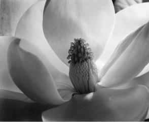 Magnolia Blossom , Imogen Cunningham
