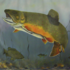 20120208011354-trout_in_progress
