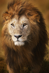 Portrait male lion,Piper Mackay